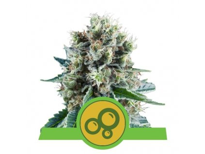 Royal Queen Seeds Bubble Kush Automatic, feminizovaná semínka marihuany, samonakvétací, 10ks