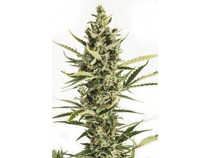 Dinafem Amnesia XXL Auto, feminizovaná semínka marihuany, samonakvétací, 10ks