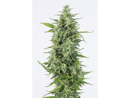 Dinafem OG Kush Auto, feminizovaná semena marihuany, samonakvétací, 3ks