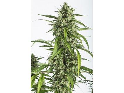Dinafem White Widow XXL Auto, feminizovaná semínka marihuany, samonakvétací, 10ks