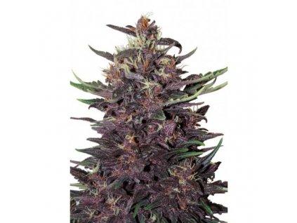 Buddha Seeds Buddha Purple Kush, feminizovaná semínka konopí, samonakvétací, 10ks