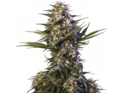 Buddha Seeds Kraken, feminizovaná semínka marihuany, 10ks