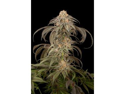 Dinafem Purple Afghan Kush, feminizovaná semena marihuany, 3ks