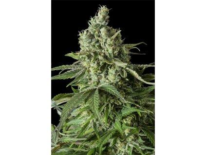 Dinafem Moby Dick CBD, feminizovaná semínka marihuany, 10ks