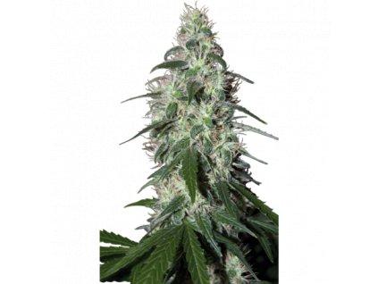 Buddha Seeds Pulsar, feminizovaná konopná semínka, 5ks