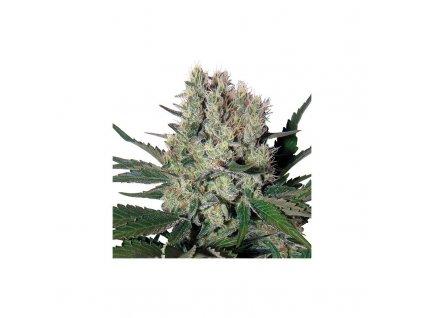 Buddha Seeds Syrup, feminizovaná semínka konopí, samonakvétací, 10ks
