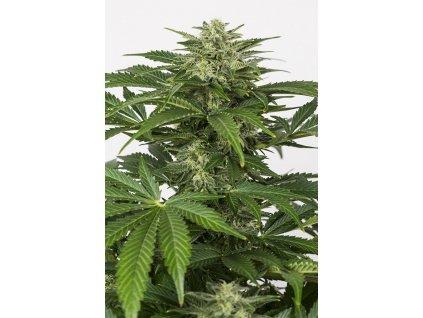 Dinafem Haze Autoflowering CBD, feminizovaná semínka marihuany, samonakvétací, 10ks