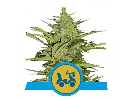 Royal Queen Seeds Fast Eddy Automatic CBD, feminizovaná semena marihuany, samonakvétací, 10ks