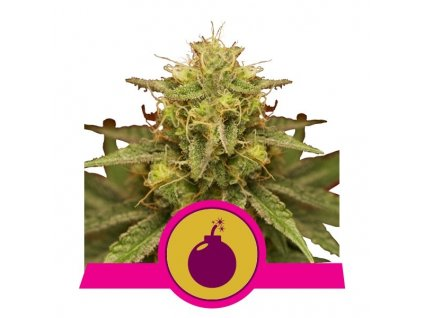 Royal Queen Seeds Royal Domina, feminizovaná semínka marihuany, 10ks