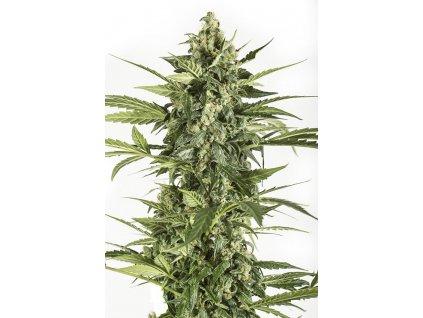 Dinafem Blue Cheese Autoflowering, feminizovaná semínka konopí, samonakvétací, 10ks
