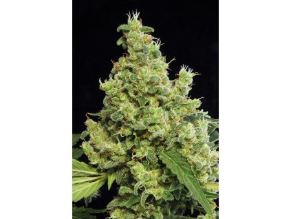 Dinafem Blue Hash, feminizovaná semínka marihuany, 10ks