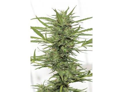 Humboldt Seeds Dedoverde Haze Autoflowering, feminizované semena marihuany, samonakvétací, 5ks