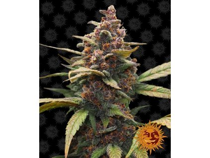 Barney's Farm Ayahuasca Purple, feminizovaná semínka marihuany, 10ks