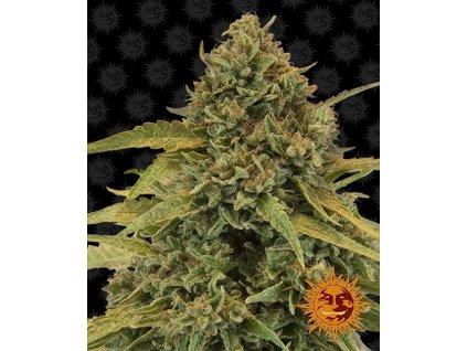 Barney's Farm Bad Azz Kush, feminizovaná semínka marihuany, 10ks