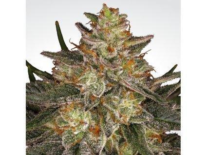 Paradise Seeds Dutch Kush, feminizovaná konopná semínka, 5ks