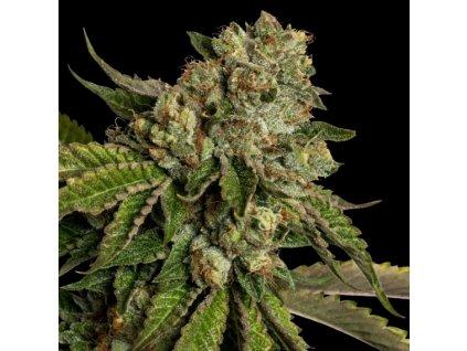 DNA Genetics Kosher Kush, feminizovaná semena marihuany, 3ks