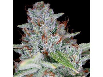DNA Genetics Skywalker Kush, feminizovaná semena marihuany, 3ks