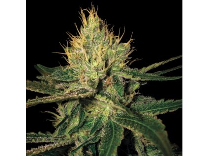 DNA Genetics Cannalope Haze, regulérní semínka marihuany, 13ks