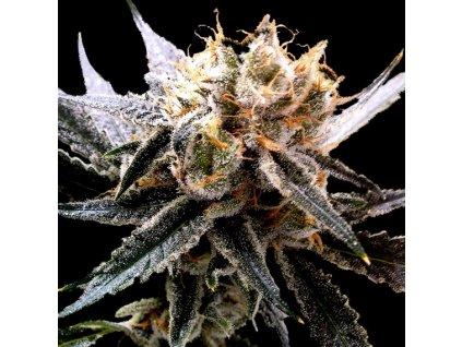 DNA Genetics Sour Tangie, regulérní semínka marihuany, 13ks