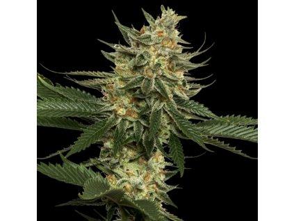 DNA Genetics Tangie, regulérní semínka marihuany, 13ks