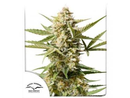 Dutch Passion Auto Cinderella Jack, feminizovaná semena marihuany, samonakvétací, 3ks