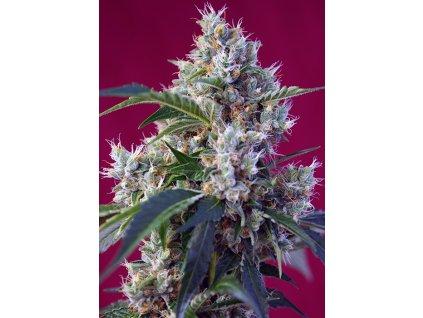 Sweet Seeds Indigo Berry Kush, feminizovaná semínka marihuany, 7ks