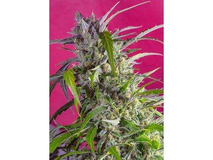 Sweet Seeds Auto Crystal Candy, feminizovaná semínka marihuany, samonakvétací, 7ks