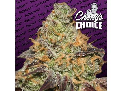Paradise Seeds CHONG'S CHOICE Blue Kush Berry, feminizovaná semínka marihuany, 10ks