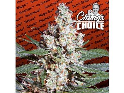 Paradise Seeds CHONG'S CHOICE L. A. Amnesia, feminizovaná semínka marihuany, 10ks