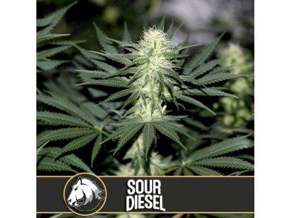 Blimburn Seeds Sour Diesel, feminizovaná semena marihuany, 3ks