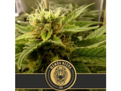Blimburn Seeds Black Mamba CBD, feminizovaná semínka marihuany, 9ks