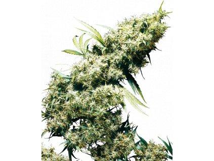 Sensi Seeds Jamaican Pearl, feminizovaná semena marihuany, 5ks