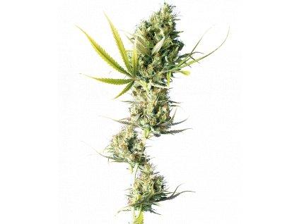 Sensi Seeds Durban, feminizovaná semena marihuany, 5ks