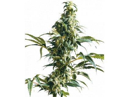 Sensi Seeds Mexican Sativa, feminizovaná semena marihuany, 10ks