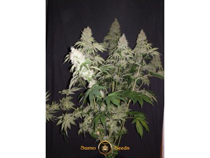 Sumo Seeds White Caramel Cookie, feminizovaná semínka marihuany, 3ks
