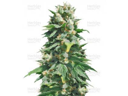 Sumo Seeds Santa Maria Auto, feminizovaná semena marihuany, samonakvétací, 3ks