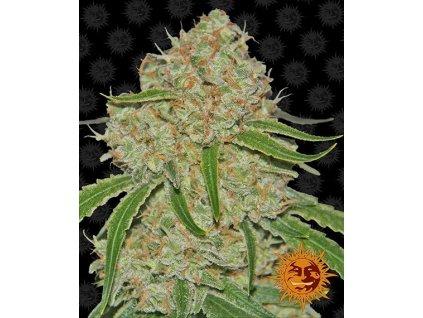 Barney's Farm Phantom OG, feminizovaná semena marihuany, 3ks