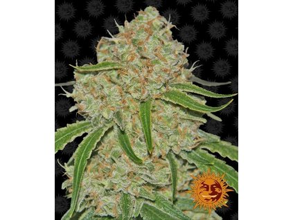 Barney's Farm Phantom OG, feminizovaná semínka marihuany, 10ks
