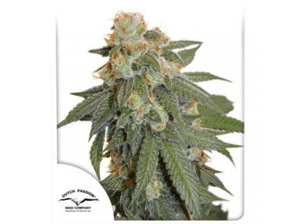 Dutch Passion Auto Orange Bud, feminizovaná semena marihuany, samonakvétací, 3ks