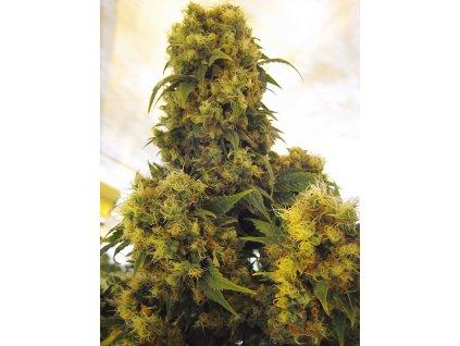 Mr. Nice Seeds Critical Skunk, regulérní semena marihuany, 18ks
