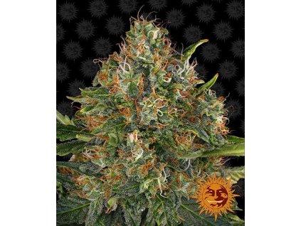Barney's Farm G13 Haze, regulérní semínka konopí, 10ks