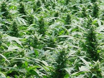 Mr. Nice Seeds Dreamtime, regulérní semena konopí, 18ks