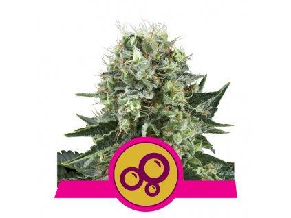 Royal Queen Seeds Bubble Kush, feminizovaná semena marihuany, 10ks