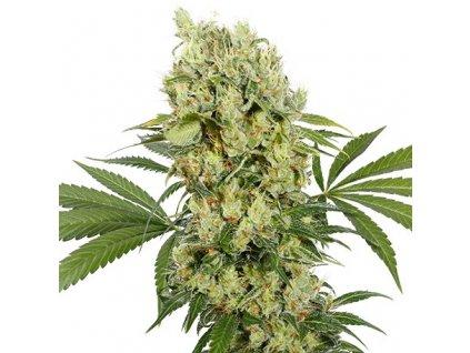Buddha Seeds Medikit, feminizovaná konopná semínka, 5ks