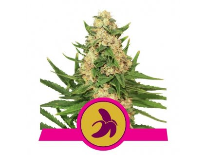 Royal Queen Seeds Fat Banana, feminizovaná semínka marihuany, 10ks