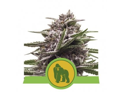 Royal Queen Seeds Royal Gorilla Auto, feminizovaná semena marihuany, samonakvétací, 10ks