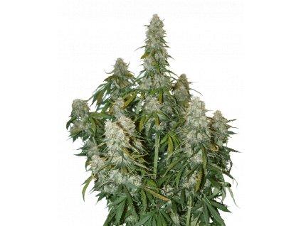 Seedstockers Big Bud Auto, feminizovaná semena marihuany, samonakvétací, 5ks