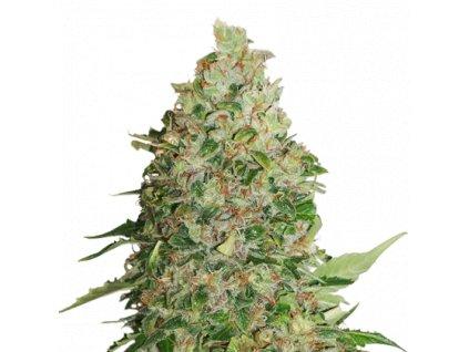 Seedstockers BCN Critical XXL Velké balení, feminizovaná semínka marihuany, 250ks