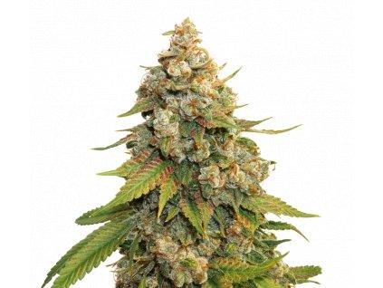 Seedstockers Golden Lemon Haze Velké balení, feminizovaná semena marihuany, 250ks
