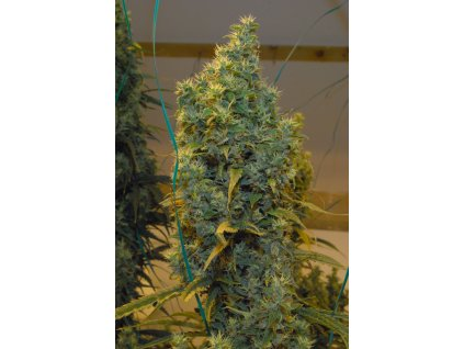 Mr. Nice Seeds NL5 x Haze, regulérní semínka marihuany, 18ks